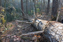Large Fallen Tree In Forest
