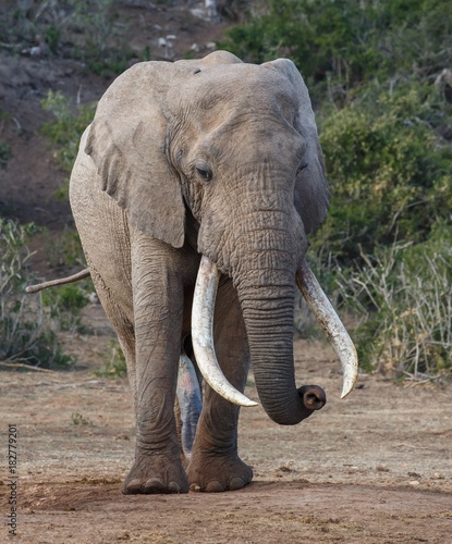 Photo African Elephant with Very Long Tusks