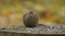Mourning Dove / Turtle Dove Ea...