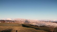 Snow Geese Taking Off / Sound ...