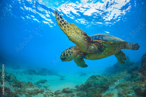 Poster Tortue Sea turtle underwater against blue water surface on background