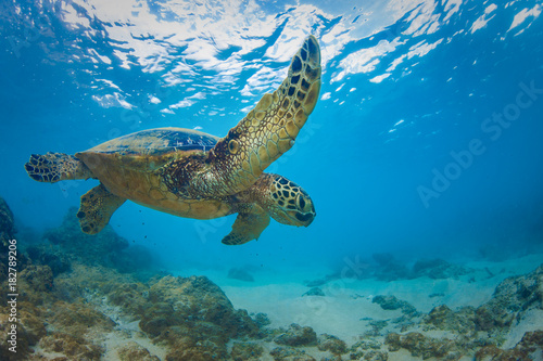 Poster Tortue Sea turtle underwater against blue water background