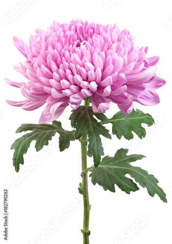 Purple chrysanthemum flower head Fototapet