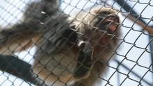 Zoo Monkey Behind Fences. Chim...