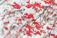 The Mature Berries Of Rowan Covered With Snow. Selective Focus.