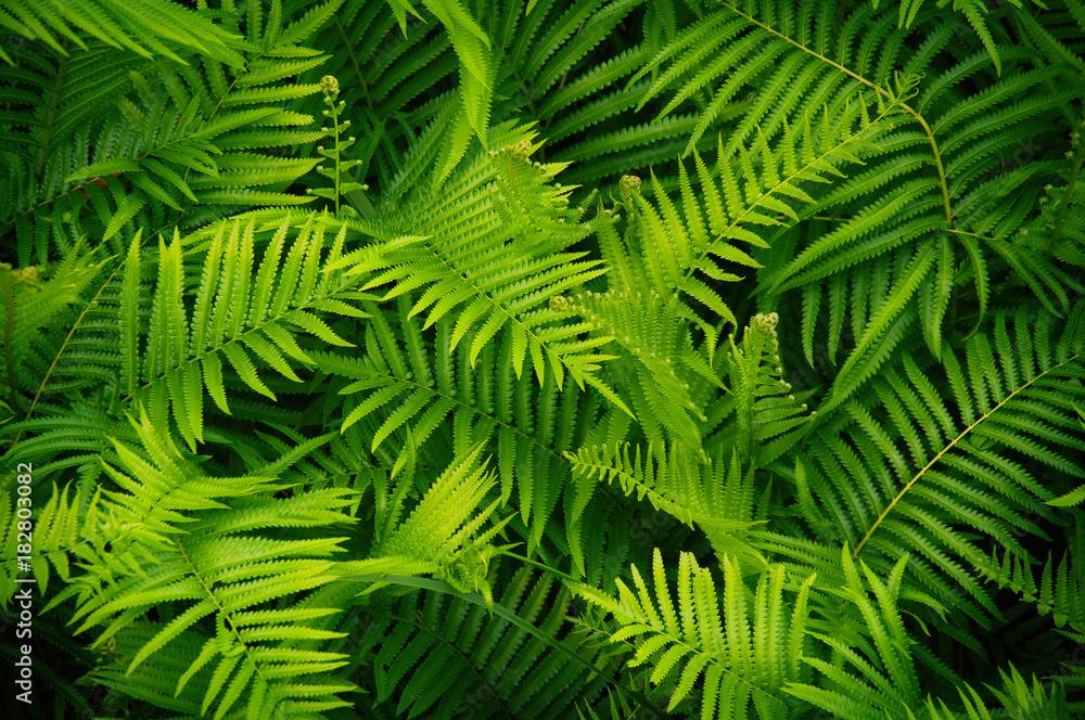 Fototapeta Beautyful ferns leaves green foliage natural floral fern background in sunlight.