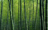 Bamboo forest in China