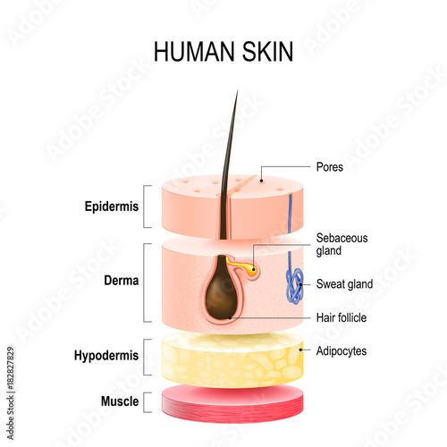 Fotografía  Layers Of Human Skin.