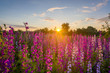 Nice, colorful, wide look at  meadow filled with red, pink and purple wildflowers, in a nice summer sunset.