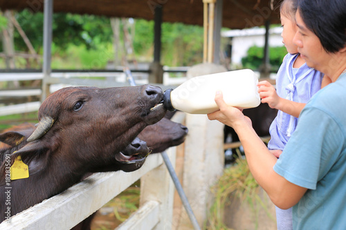 Father and daughter feeding the murrah buffalo in farm