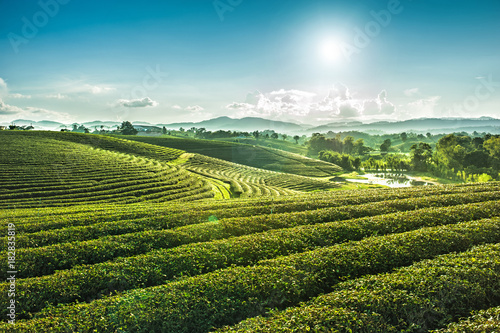 Cuadros en Lienzo Beautiful landscape view of choui fong tea plantation with sunset at Maejan , to