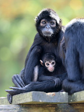 Spider Monkey Mother With Baby
