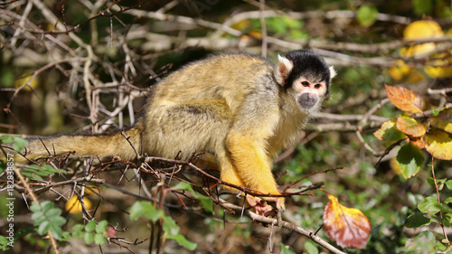 Foto op Plexiglas Aap Squirrel monkey with autumn colored background