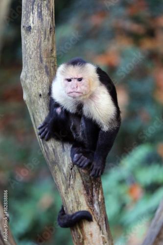 Fényképezés  Capuchin monkey