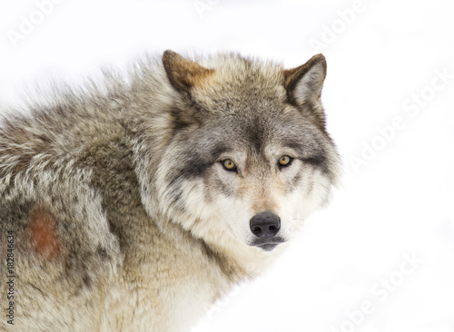 A lone Timber wolf or Grey Wolf (Canis lupus) isolated against a white background portrait closeup in winter snow in Canada