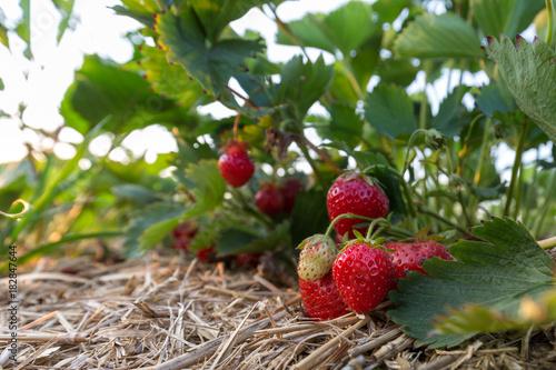 Foto  Erdbeerstrauch im Beet eines Erdbeerfeldes
