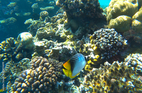 Fototapety, obrazy: fish butterfly and coral reef