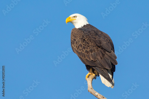 Bald Ealge in Virginia perched on branch. Wallpaper Mural