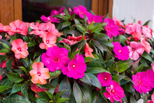 Bright Pink Impatiens Hawkeri,...