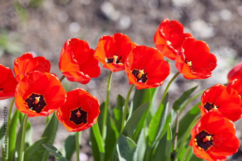 Foto op Aluminium Rood Tulip flowers in close up