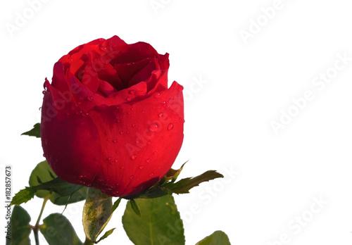 Plakat Rewolucjonistki róża z liść wodną kropelką odizolowywającą na białym tle