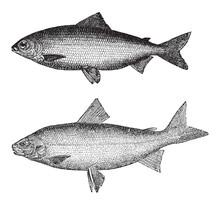 Coregonus Wartmanni Above And Whitefish (Goregonus Albus) Below / Vintage Illustration