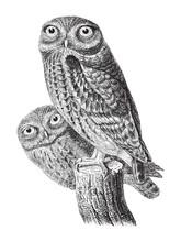 Little Owl (Athene Noctua) / Vintage Illustration