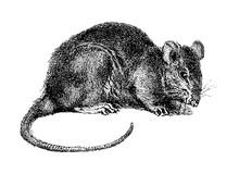 Rat (Rattus) / Vintage Illustration
