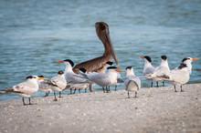 Brown Pelican With Caspian Terns