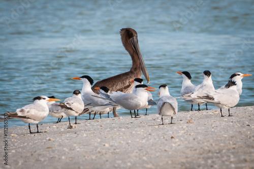 Fotografie, Obraz  Brown pelican with Caspian terns