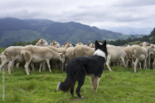 Fotografie, Obraz  border collie dirigeant un troupeau de moutons