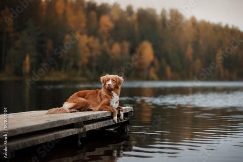 Cuadros en Lienzo Dog Nova Scotia duck tolling Retriever on a wooden pier