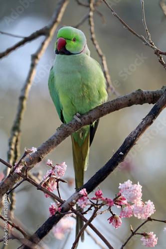 Ring necked parakeet Fotomurales