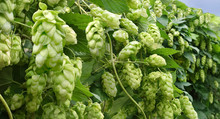 Wall Of Growing Hops With Ripe Cones