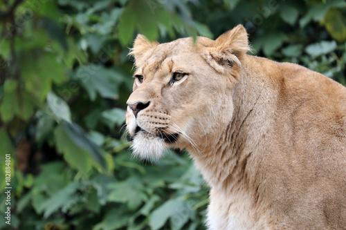 Foto  Lioness