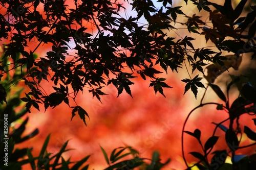 Fotobehang Koraal 紅葉の季節