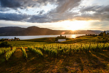 Sunset In The Vineyards In Penticton , Okanagan Valley Canada