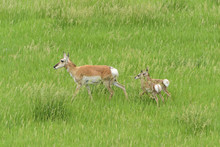 Pronghorn Antelope Mother With...