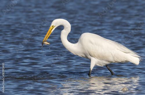 Αφίσα  Great egret (Ardea alba) hunting in tidal marsh, Galveston, Texas, USA