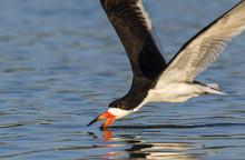 Black Skimmer (Rynchops Niger) Hunting, Galveston, Texas, USA.