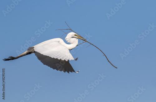 Αφίσα  Great egret (Ardea alba) flying with tree branch for the nest, High Island, Texa