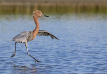 Reddish Egret (Egretta Rufesce...