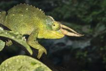 Jackson's Horned Chameleon (Tr...