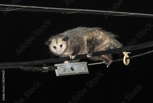 Fotografie, Obraz  Virginia opossum (Didelphis virginiana) climbing powerline at night, Galveston,