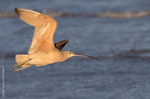 Long-billed curlew (Numenius americanus) flying over the ocean, Galveston, Texas Poster