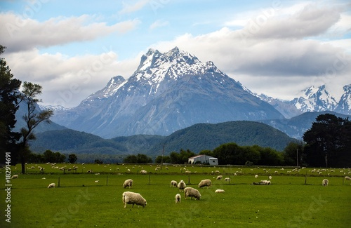 Fotomural  Spring in New Zealand - A pasture with sheep and a majestic snowy mountain backg