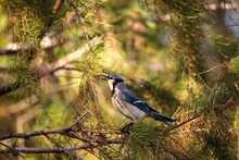 Florida Blue Jay Bird Cyanocit...