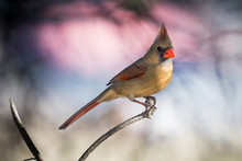 Female Northern Cardinal (Card...