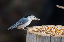 White Breasted Nuthatch (Sitta...