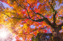 Top View From Below Of Maple Tree With Blue Sky In Garden In Autumn Season At Kyoto, Japan, Sunlight Effect